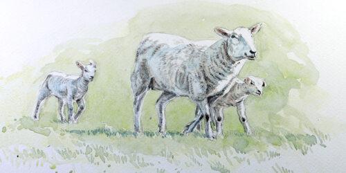 Watercolour Tutorial: Capturing Shadows on Spring Lambs
